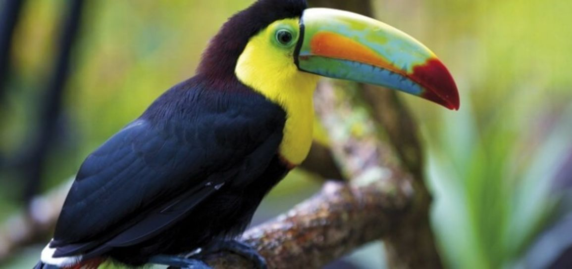 Toucan, Mexique