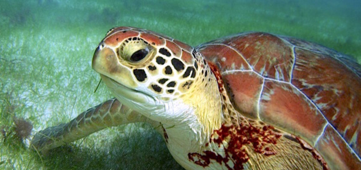 Tortue d'Akumal, Mexique