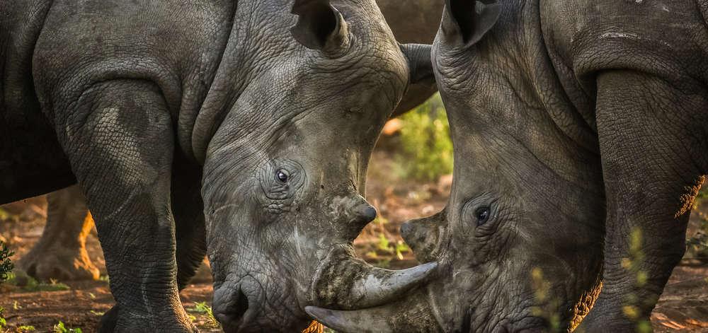 Rhinocéros du Botswana