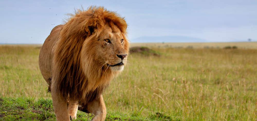 Lion dans les plaines de Savute
