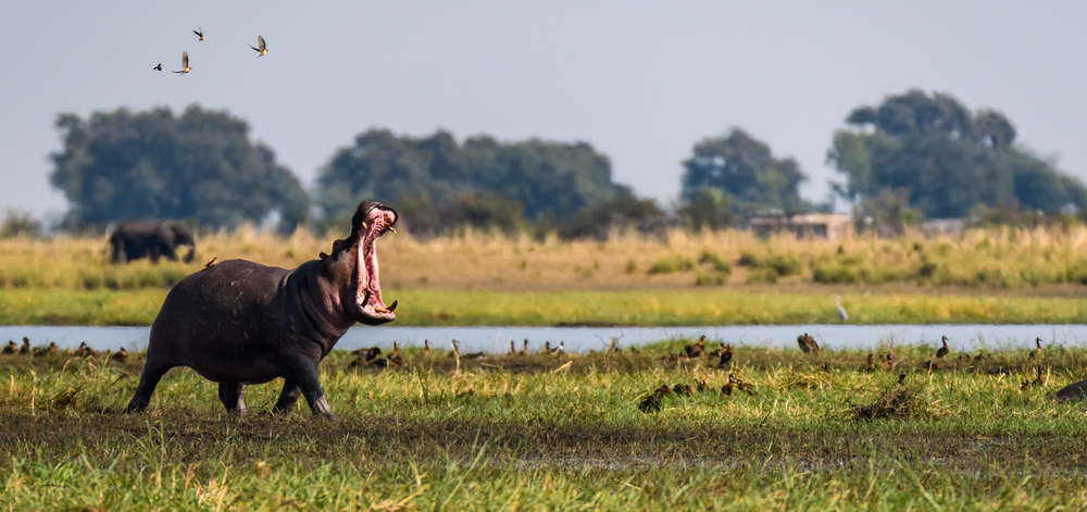 Hippopotame du Delta