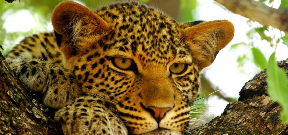 Léopard de l'Okavango