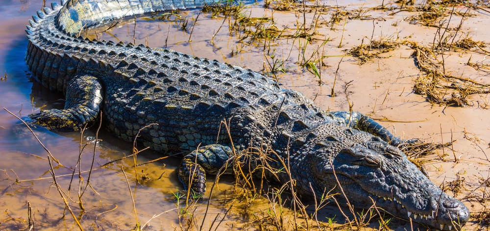 Crocodile du Delta