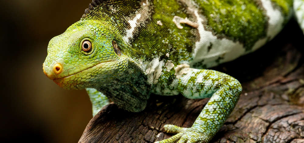 Iguane à crête, Viti Levu