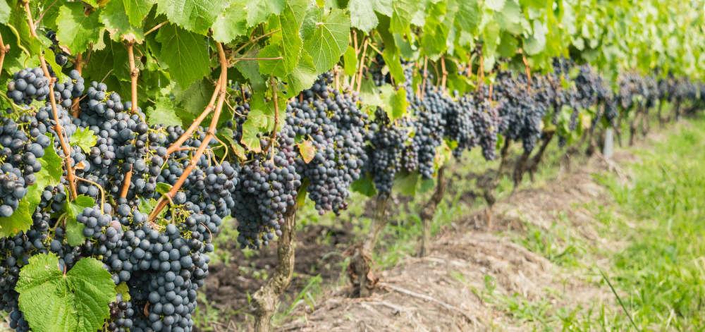 Vignobles de Montevideo