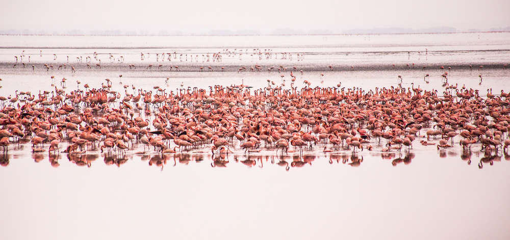 Flamants Roses du Lac Manyara