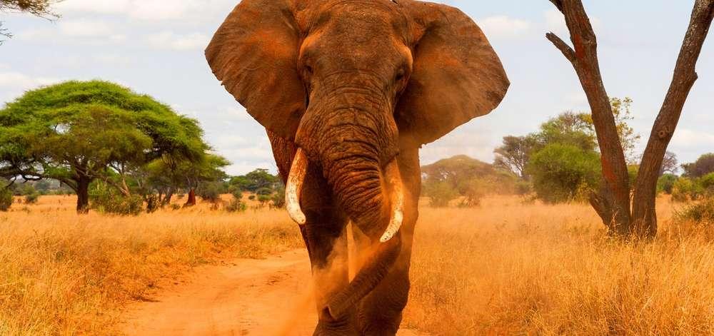 Éléphant sur une piste du Tarangire