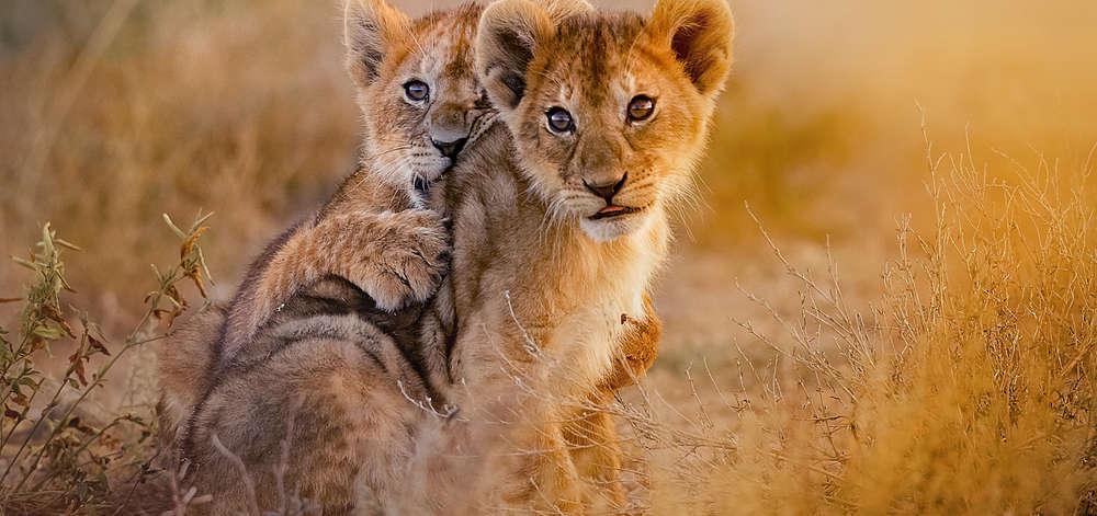 Lionceaux du Serengeti
