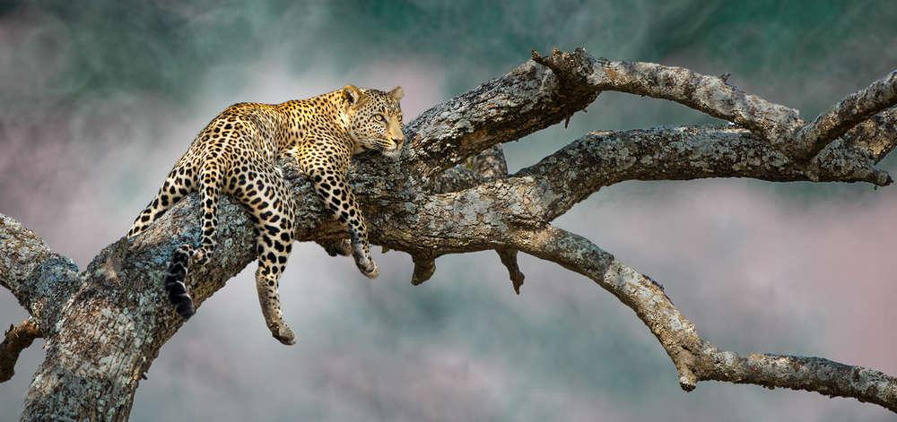 Léopard sur sa Branche