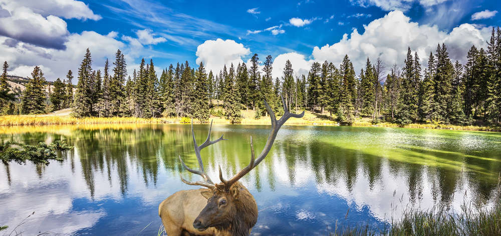 Cerf rouge, Jasper National Park