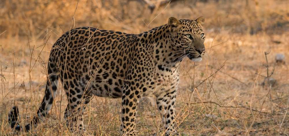 safari ''léopards''