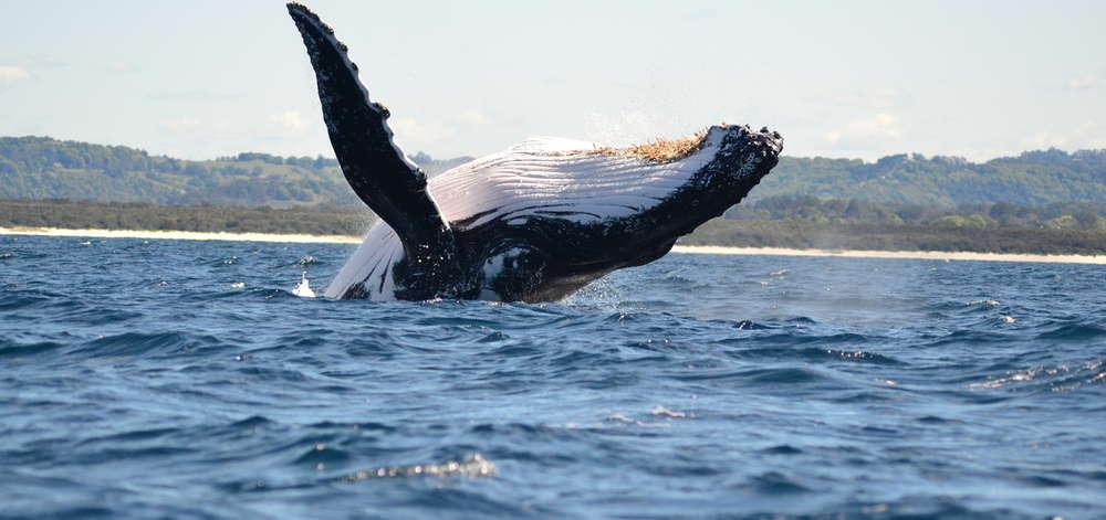 Baleine à bosse, Byron Bay