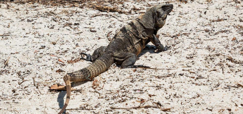 Iguane, Holbox