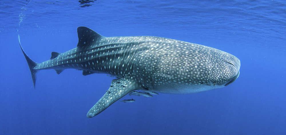 Requin-Baleine à Nosy Komba